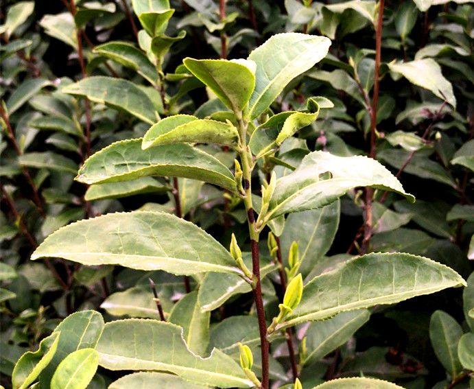 全国多地春茶陆续开采 采茶工们都戴上了口罩