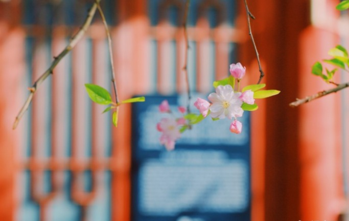 西府海棠,春天里的一抹明艳