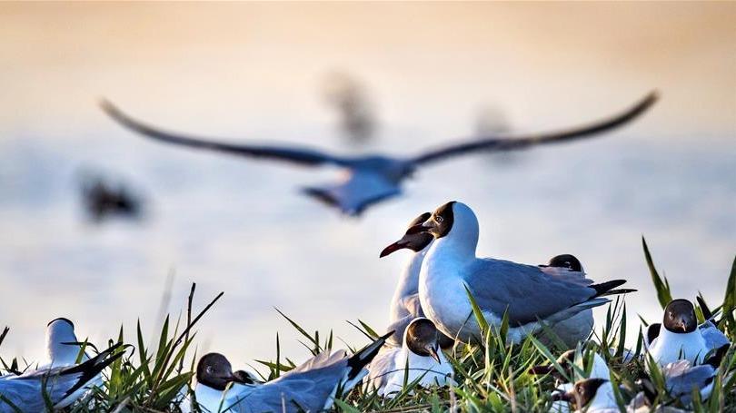 陕西神木市:最是一年初夏时 遗鸥啼鸣湖更幽
