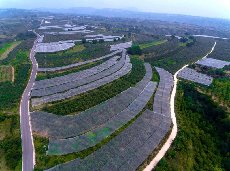 #苹果#【全面小康 殷实家园】陕西延长:产业兴了 腰包鼓了 农民笑了