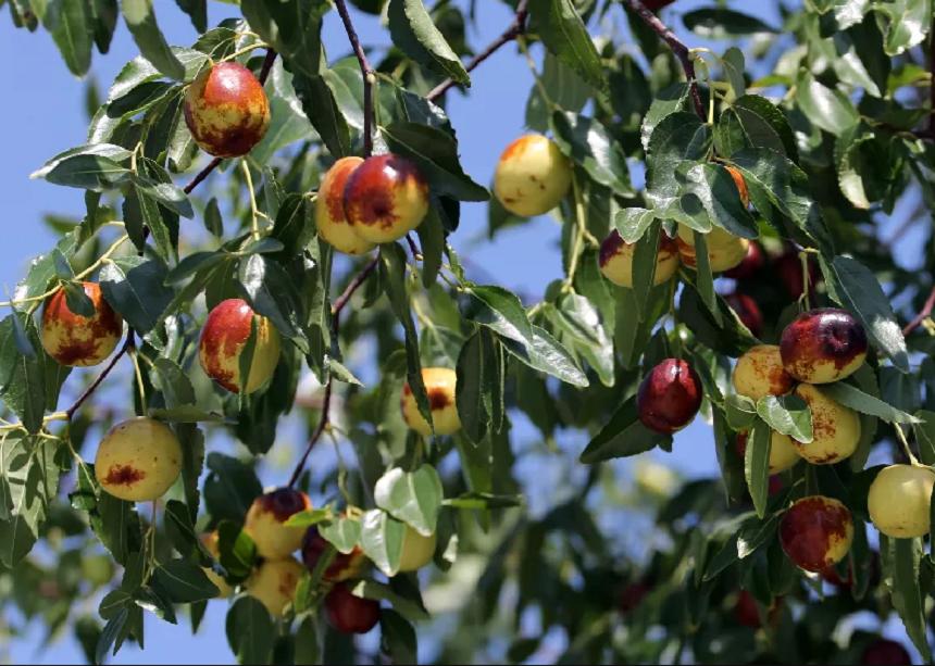 树上的大荔冬枣