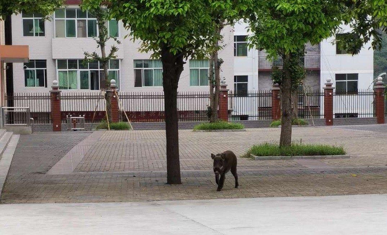 旬阳:野猪惊现校园 特警百米外