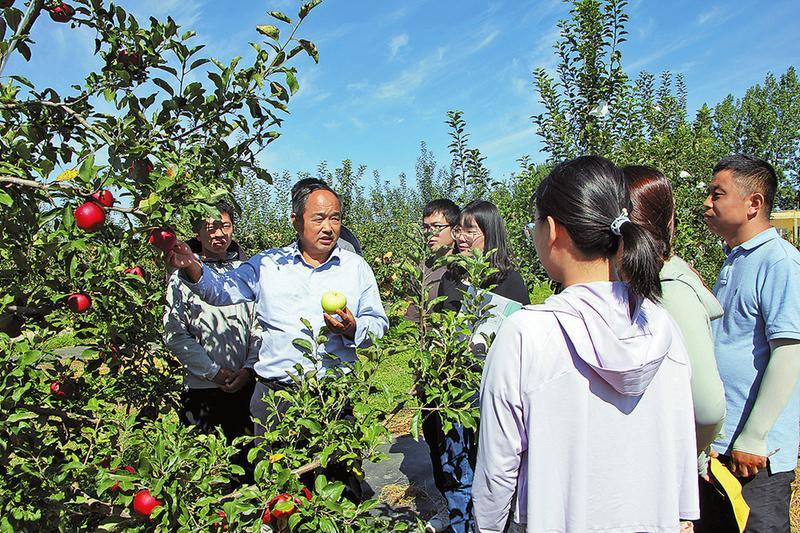 陕西白水县:苹果红了 钱袋鼓了 农民笑了