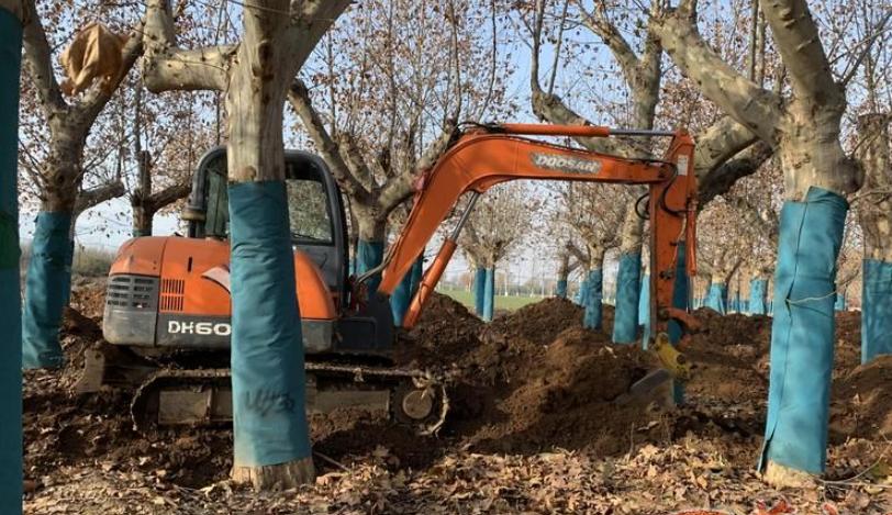 西安友谊路大树今起回家 首批28棵树预计明早完成栽种