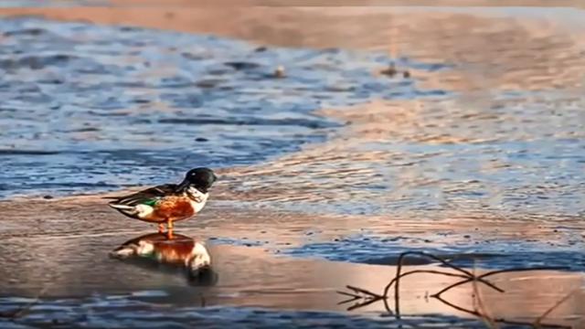 【冬日鸟精灵3】汉江安康段首次发现琵嘴鸭