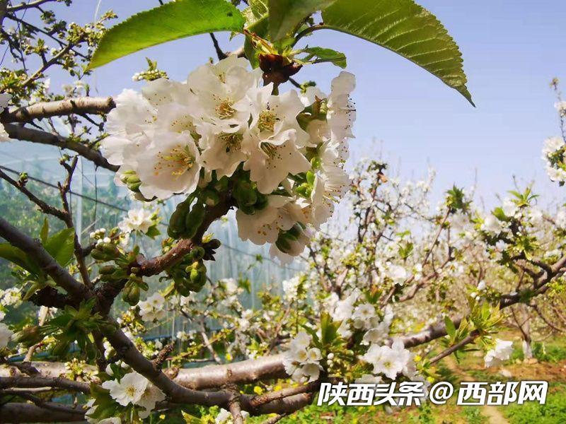 春天里的陕西:眉县美 樱桃花海惹人醉