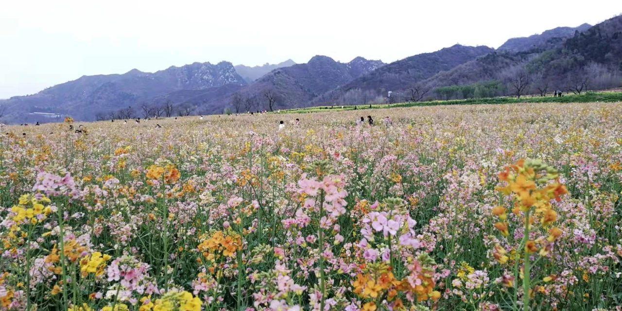 【春天里的陕西】西安长安区:七彩油菜花田 旅游打卡新景点