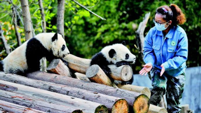 给秦岭大熊猫当铲屎官是什么体验?既是