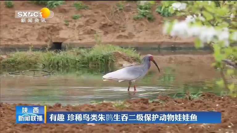 有趣 珍稀鸟类朱鹮生吞二级保护动物娃娃鱼
