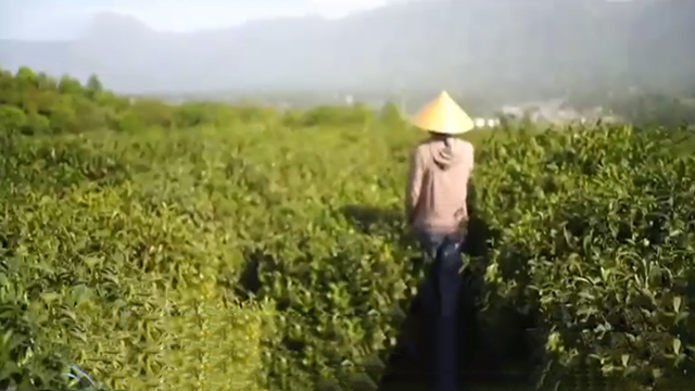 茶乡五月风光好