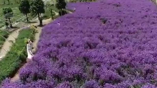 """传说中""""紫色油菜花"""" 百亩蓝香芥随风起舞"""