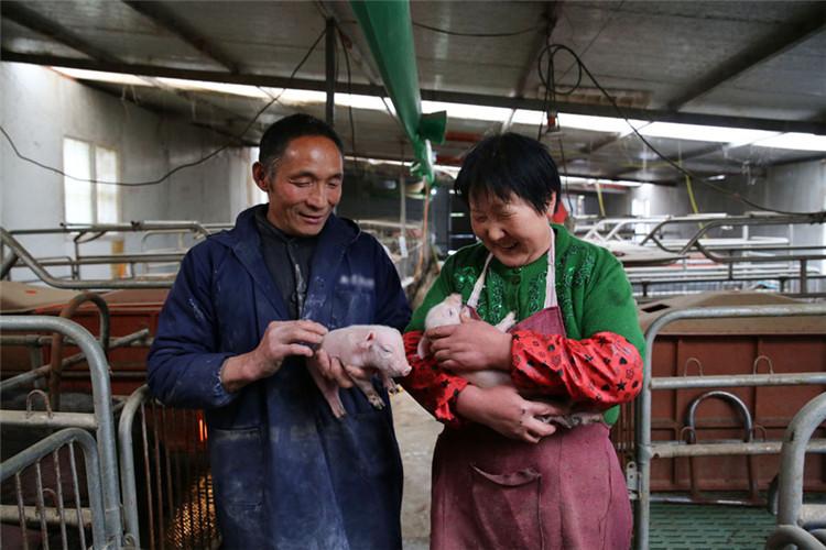 宁陕六旬夫妻留守深山养猪 从贫困户到致富能人用了6年时间
