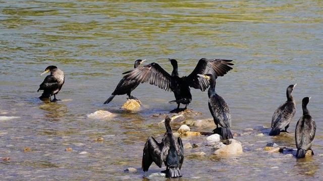 【视觉陕西】商洛市商州区丹江湿地公园飞来一群鸬鹚