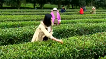 [農村大市場] 踏春問茶(二)