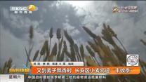 """又到麦子飘香时  长安区小麦将迎""""丰收季"""""""