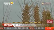 终南山下稻粱肥:长安区小麦即将迎丰收 合作社托管土地助农创收