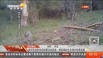 红黑大战周至:保护区拍到多段林麝活动视频  映射秦岭生态保护效果显著