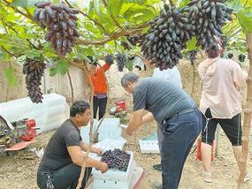大荔:葡萄新品种助农增收