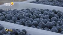 今日点击 小蓝莓能否发展成大产业