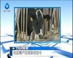 农村大市场 优质高产的荷斯坦奶牛
