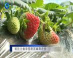 农村大市场 科技力量助推陕西草莓发展