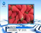 """农村大市场 老李草莓园的""""莓""""好时光"""