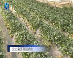 农村大市场 太乙宫草莓别样红