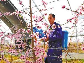 蒲城县罕井镇:桃花朵朵开 农民授粉忙