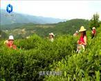 农村大市场 平利:供销助推三产融合 小茶叶变大产业