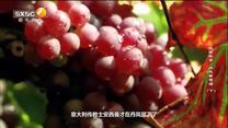 陕西故事 丹凤葡萄酒(下)