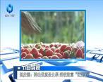 """[农村大市场]赵庄镇:种出优质圣女果 采收致富""""红宝石"""""""