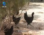 农村大市场 吃得好 跑得欢的林下散养鸡