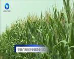 农村大市场 前景广阔的花青素鲜食玉米