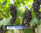 农村大市场 冶家台村:葡萄串起乡村旅游产业链