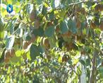 农村大市场 杨凌异香园的新品猕猴桃